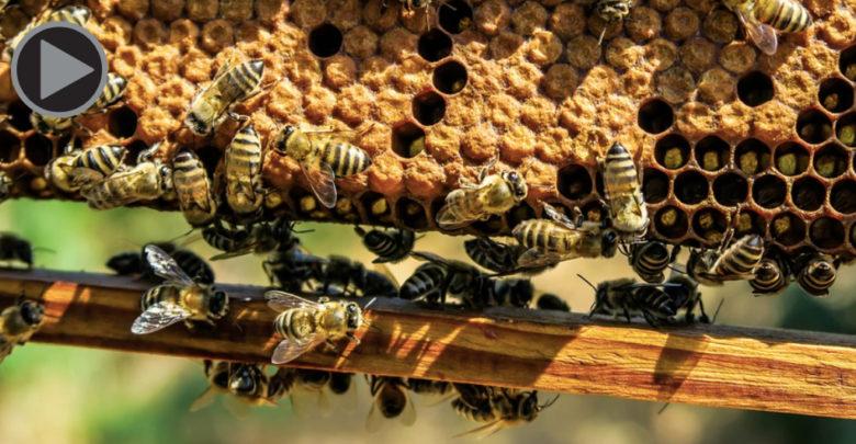 Bienen an einer Wabe mit Rahmen
