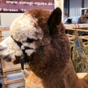Simagi-Alpaka Waltus bei der Schau in Bayreuth