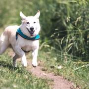 Rennender Hund ohne Leine auf der Wiese