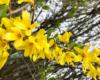 Gelb blühender Busch