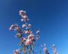 Rosa Blüten am Baum