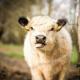 Rinder und Schafe: Blauzungenkrankheit