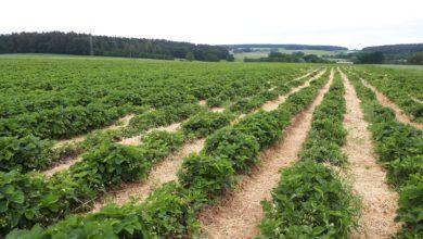 Erdbeerfeld bei Bindlach
