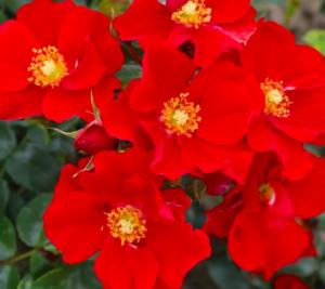 Humboldt-Rose
