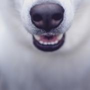 Ein Hund Jagd ein Reh in Oberfranken.