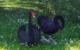 Die Trauerschwäne in Rödental haben Nachwuchs. Foto: Bayerische Schlösserverwaltung