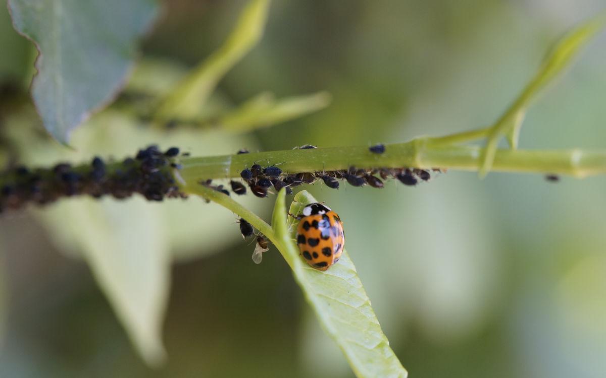 Ein Asiatischer Marienkäfer. Symbolfoto: pixabay