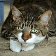 In Selb ist eine Katze mit Öl überzogen worden. Polizei vermutet einen Tierquäler. Symbolfoto: pixabay
