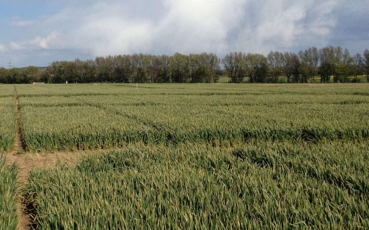 Feldexperiment mit Mais. Foto: Johanna Pausch.