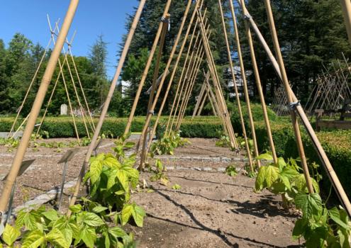 Hülsenfrüchte im Ökologisch-Botanischen Garten. Foto: Ökologisch-Botanischer Garten