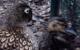 Seltene Laysan-Enten wurden am Bayreuther Röhrensee geboren. Foto: Stadt Bayreuth