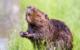Im Landkreis Bayreuth wurden zwei tote Biber gefunden. Symbolfoto: pixabay