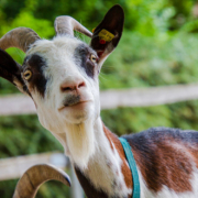 In Pegnitz wurde ein Ziegenbock gefunden. Vom Besitzer fehlt noch jede Spur. Symbolbild: pixabay