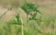 In Franken breitet sich die gefährliche Ambrosia Pflanze aus. Symbolfoto: pixabay