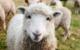 Ein Schaf ist in Bindlach ausgebüxt. Symbolfoto: pixabay