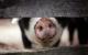Die Fleischproduktion muss wieder nachhaltiger werden. Symbolfoto: pixabay