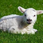 In Selb in Oberfranken wurde ein Lamm geschlachtet in einem Wald gefunden. Symbolfoto: pixabay