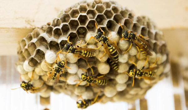 Wespen am eigenen Haus. Das ist zu beachten. Symbolbild: pixabay