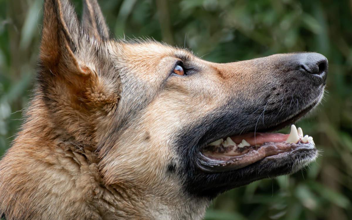 Ein Schäferhund wurde in Nürnberg erschossen. Er habe einen Polizisten mehrfach gebissen. Symbolfoto: pixabay