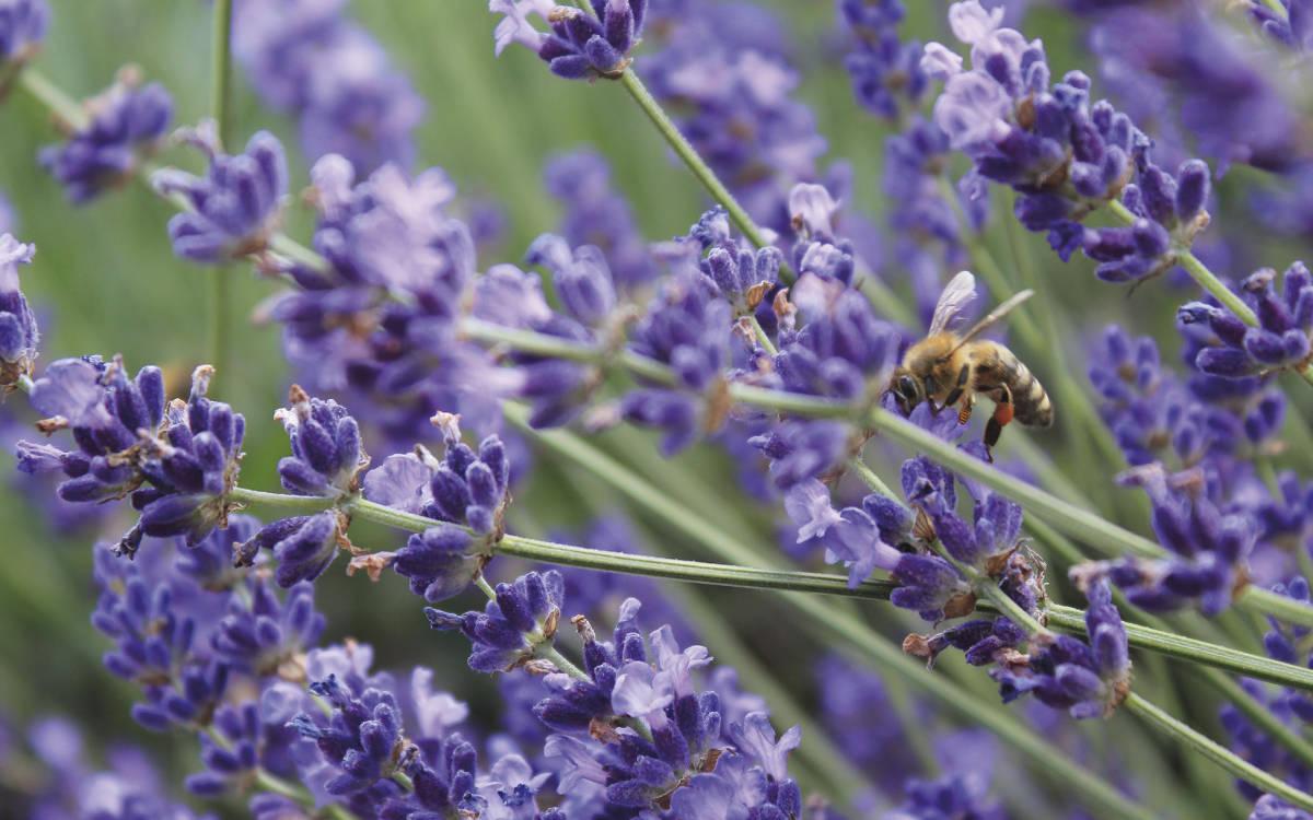 Lavendel zum Beispiel ist im Vorgarten wie auch im gesamten Garten sehr beliebt und pflegeleicht. Foto: GARDENA