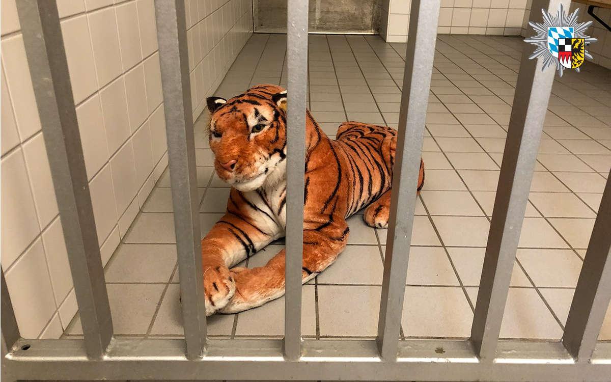 Der Tiger im Zwinger bei der Verkehrspolizei Feucht. Foto: Polizei