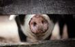 Ein Schwein. Foto: Pixabay