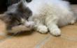 Uschi ist eine liebe, verschmuste Katze und wohnt momentan im Tierheim Bayreuth. Sie hat aber leider Epilepsie. Wer will ihr trotzdem ein Zuhause geben? Foto: Katharina Adler
