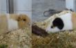 Die Meerschweinchen Rike und Jordy warten im Tierheim Bayreuth auf ein neues Zuhause. Foto: Tierheim Bayreuth