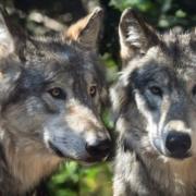 Im Landkreis Bayreuth wurden insgesamt 25 tote Wildtiere gefunden. Spuren deuten auf einen Wolf-Angriff hin. Symbolfoto: Pixabay