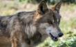 Die Kreistags-CSU sorgt die zunehmende Wolfspopulation. Die Tiere sollen deshalb erschossen werden dürfen. Symbolfoto: Pixabay