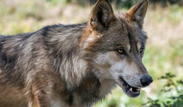 Der Wolf in Bayern soll