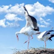 In Bayreuth haben sich wieder zwei Storchenpaare angesiedelt. (Symbolbild: pixabay)