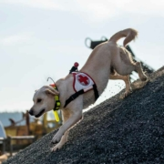Ein Hund der Hundestaffel Bayreuth beim Training. Bild: privat