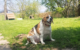 Die Beagle-Hündin