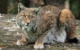 Im Tiergarten Nürnberg ist ein Luchs aus seinem Gehege ausgebrochen. Nach der Narkose ist es plötzlich verstorben. Symbolbild: Pixabay