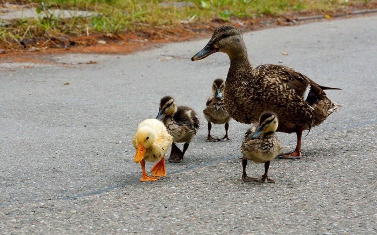 Im Kreis Bayreuth kam es wegen einer Entenfamilie zu einem Unfall. Symbolfoto: Pixabay