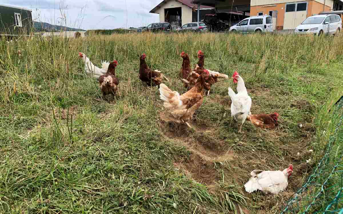 Die Eier stammen selbstverständlich von freilaufenden Hühnern, direkt neben der Hütte. Bild: Michael Kind