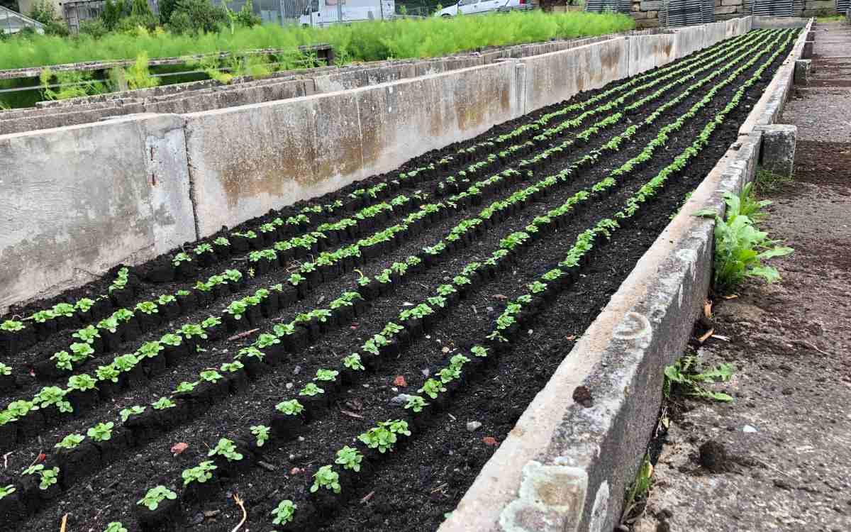 Auch im Außenbereich wird angebaut - hier der schön aufgereihte Feldsalat. Bild: Michael Kind