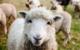 Im Haßfurter Ortsteil Wülflingen (Unterfranken) wurde ein Schaf auf der Weide geschlachtet. Der oder die Täter ließen vom Tier bis auf das blutige Fell nichts zurück. Symbolbild: Pixabay