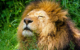 Löwe Subali ist tot. Im Nürnberger Tiergarten musste das Tier eingeschläfert werden. Symbolbild: pixabay