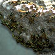 Insekten haben bei Himmelkron Hausbewohner angegriffen, sobald diese ihr Haus betreten wollten. Symbolfoto: pixabay