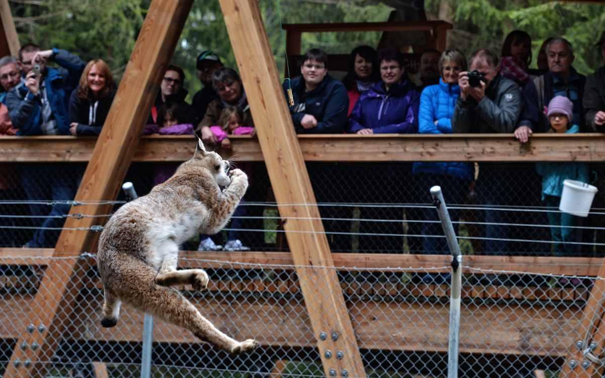 Wildpark Waldhaus Mehlmeisel: Gäste betrachten einen Luchs. Bild: Florian Miedl