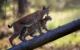 Luchse im Wildpark Waldhaus Mehlmeisel. Bild: Uwe Gibkes