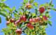 In Pegnitz gibt es eine besondere Aktion für Obstbäume: Das gelbe Band. Symbolfoto: pixabay