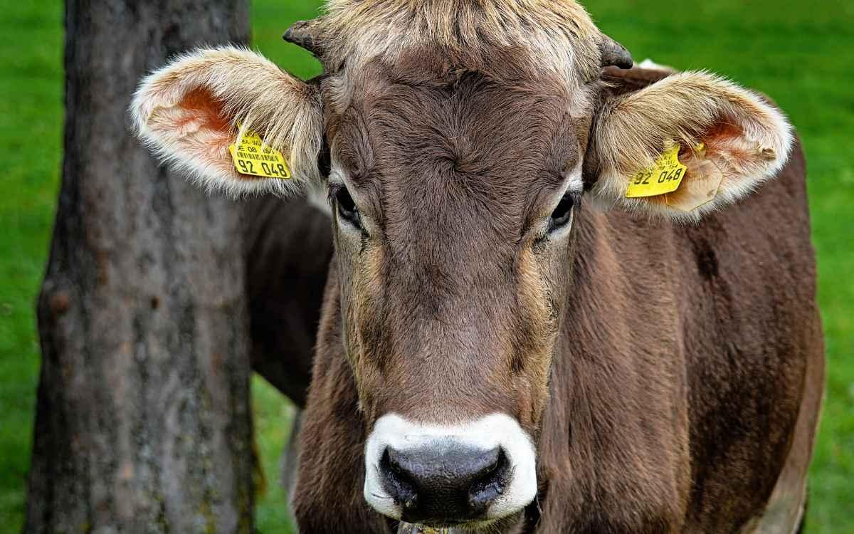 Ein Rind konnte im Landkreis Hof aus einer Metzgerei in den Wald fliehen. Die Polizei erschoss das Tier mit vier Schüssen. Symbolbild: Pixabay