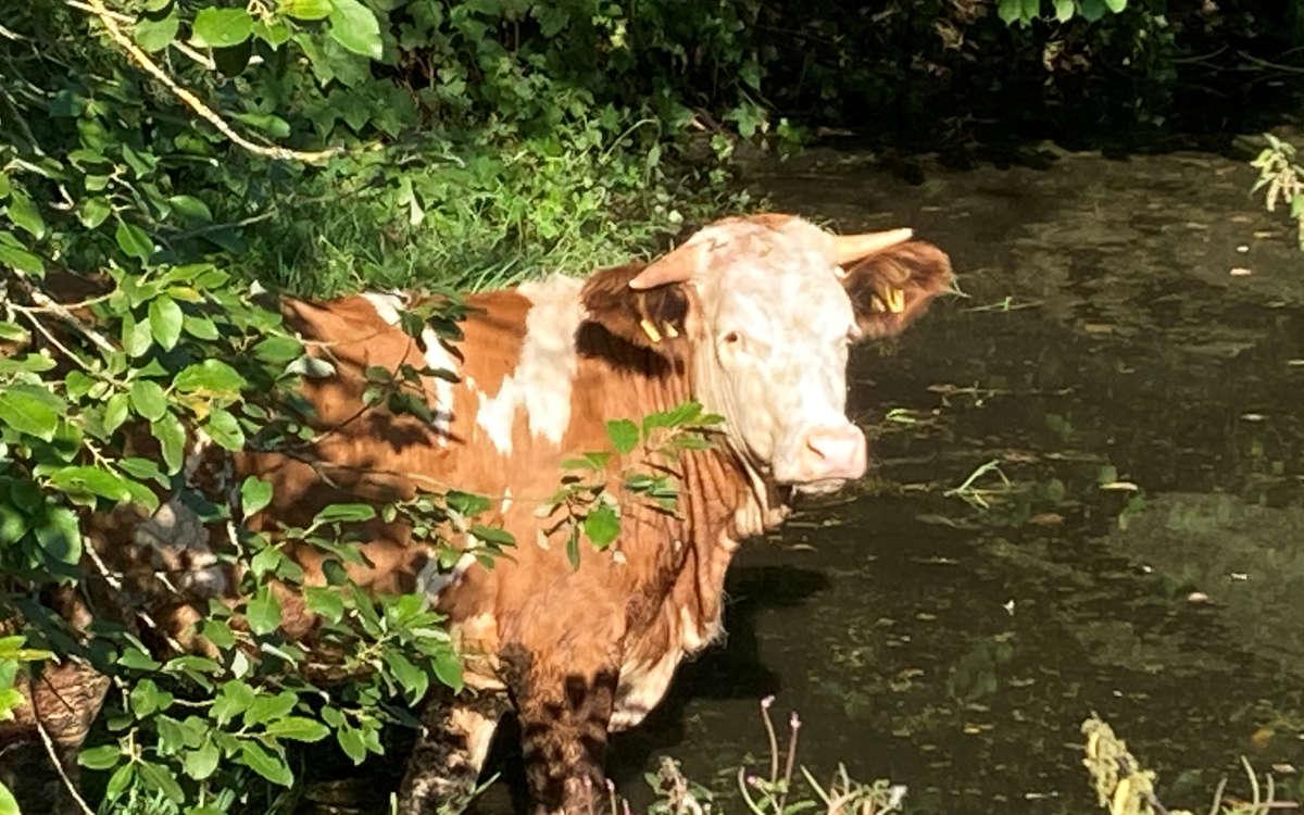 In Neuenmarkt im Kreis Kulmbach ist ein Rind ausgebrochen. Foto: Polizei