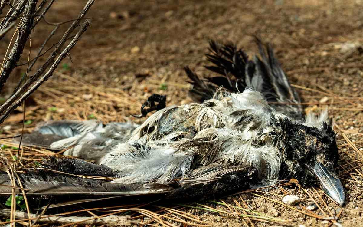 In Pinzberg in der Fränkischen Schweiz wurden tote Krähen zur Abschreckung ihrer Artgenossen an einem Feld aufgehängt. Symbolbild: Pixabay