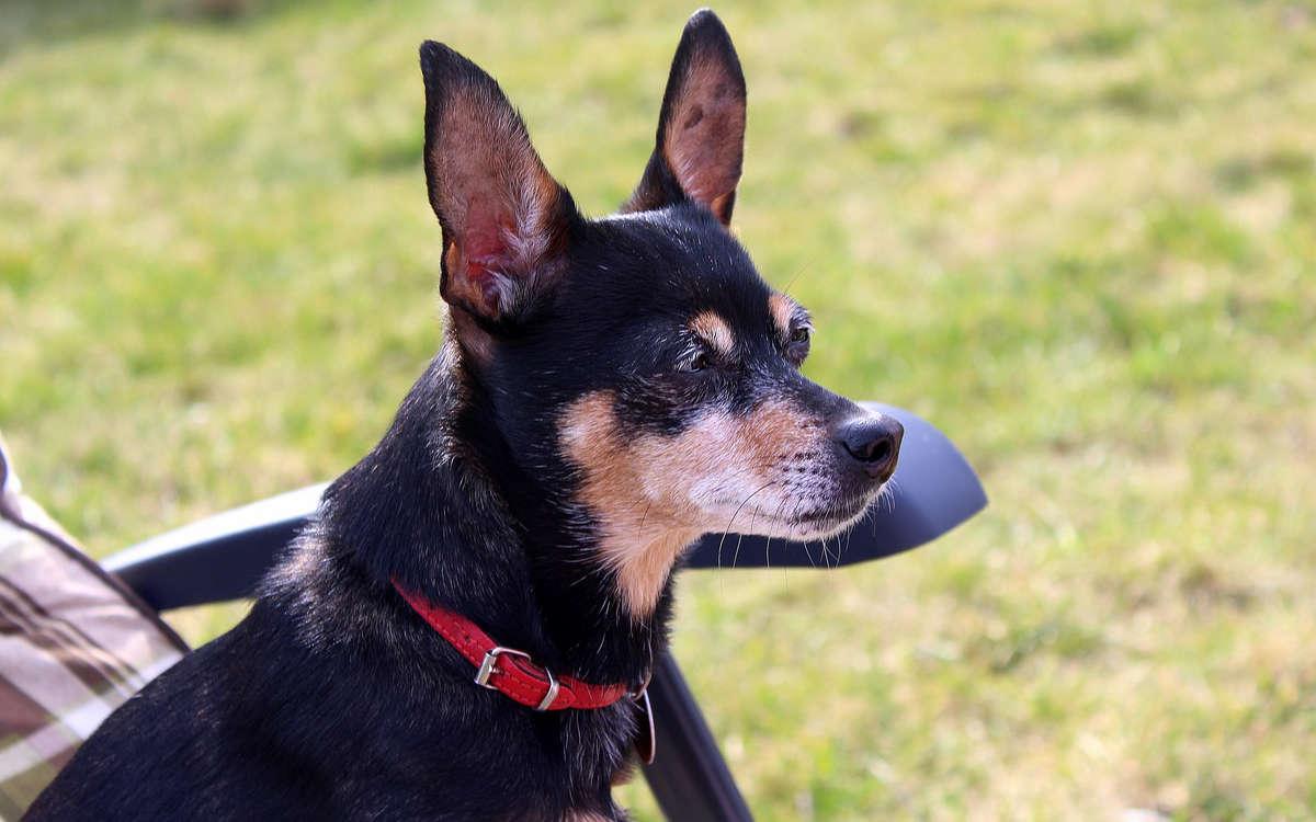 Fürchterliche Tat: Ein Hundebesitzer hat einen kleinen Hund tot getreten. Symbolbild: pixabay