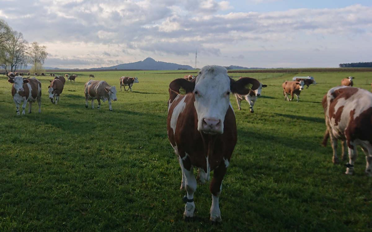 Die freilaufenden Kühe am Gerstenhof. Bild: Gerstenhof Speichersdorf