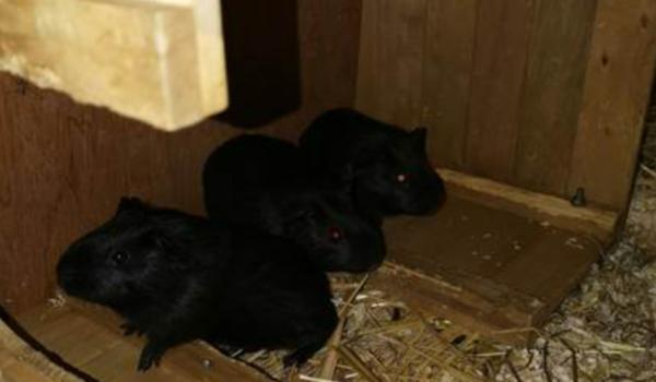 Die drei Meerschweinchenbrüder Rico, Ronny und Randy aus dem Tierheim Bayreuth suchen ein gemütliches Zuhause. Bild: Tierheim Bayreuth